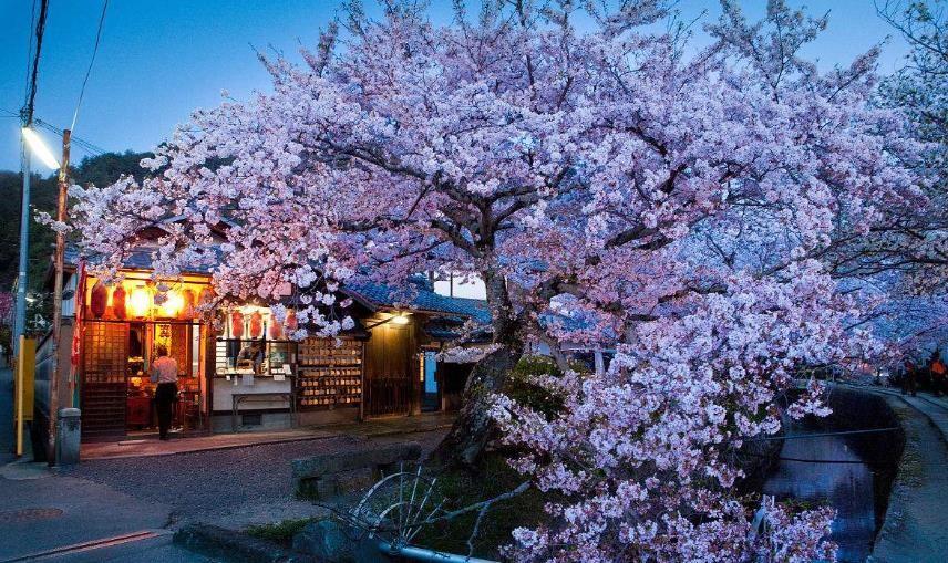 神无月樱花祭福利盛典 送万元基金赴日赏樱[视频][多图]图片1