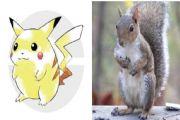 宠物小精灵皮卡丘原型曝出 一只普通的红松鼠[多图]