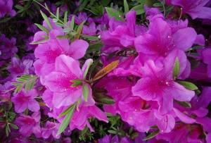 花中西施指的是谁 花中西施是什么花名蚂蚁庄园图片3