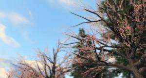 明日之后快乐101樱花树在哪里?末世樱花位置和玩法介绍图片2