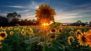 蚂蚁庄园今日答案8月18:向日葵会跟随太阳一直转动吗?图片1