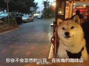 七夕单身狗表情包柴犬图片九枚高清版图片1