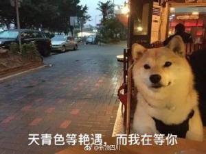 七夕单身狗表情包柴犬图片图2
