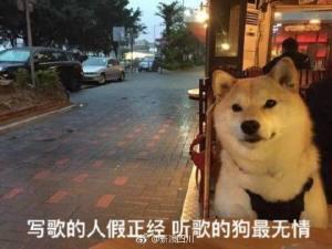 七夕单身狗表情包柴犬图片图3