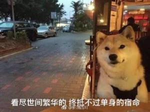 七夕单身狗表情包柴犬图片图1