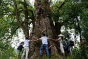 遵义现600岁高龄黄梨古树 9人手拉手才能抱住[多图]
